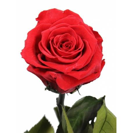 Flor rosa natural preservada gran
