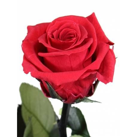 Flor rosa natural preservada pequeña