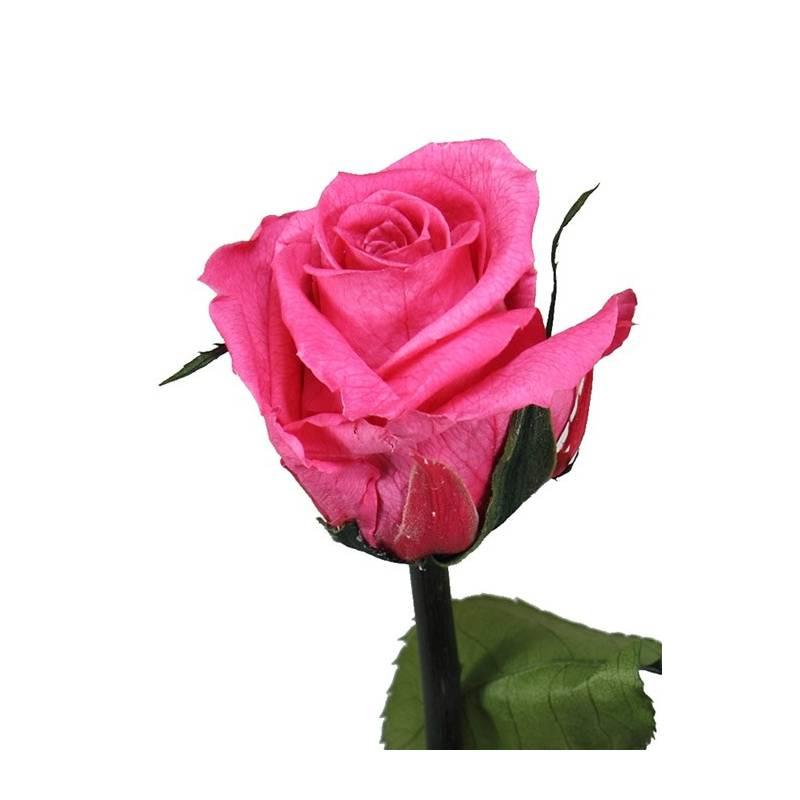 Flor Rosa Natural Preservada Pequena Rosas Eternas Oasis Decor